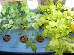Growing tomato and lettuce with aquaponics
