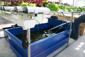 fish farming aquaponics