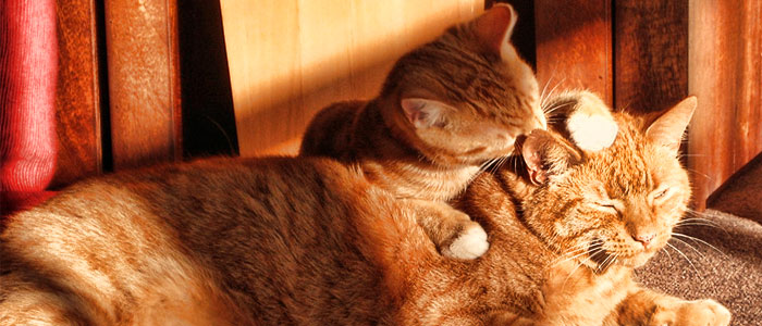 cats-grooming-each-other