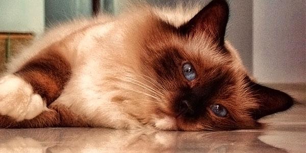 Birman-Cat-Male
