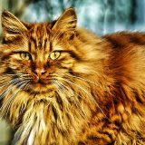 Long-haired-cat-breeds