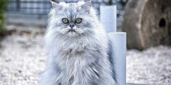 Persian-cat-breed