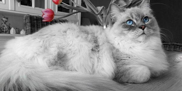 Ragdoll-with-blue-eyes