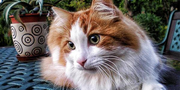 White_Turkish_Angora_cat