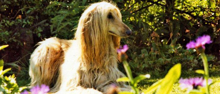 afgan hound flowing coat