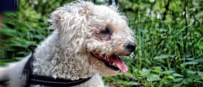 bichon frise small fluffy dog