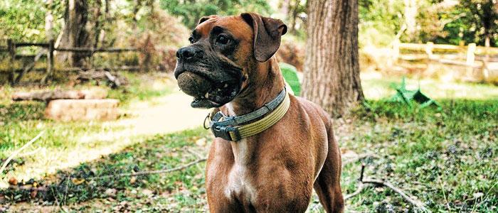 boxers dog staring