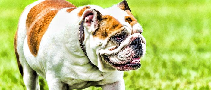 bulldog medium dog