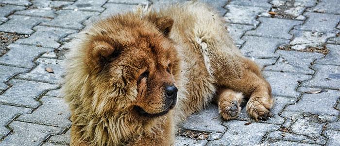 chow chow china dog breed