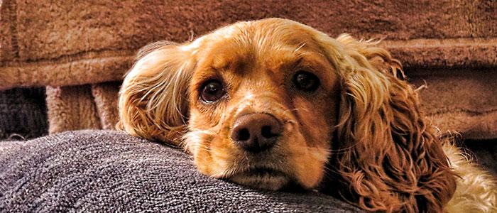 cocker spaniel companion dog