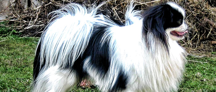 japanese chin companion dog