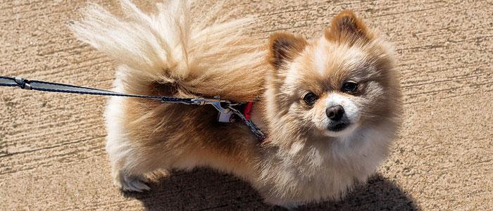 pomeranian pet dog