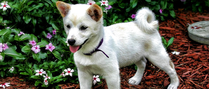 shiba inu japanese dog breed