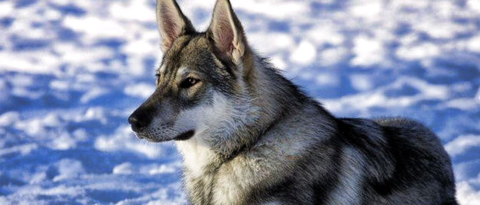 tamaskan crossbreed resembles a wolf