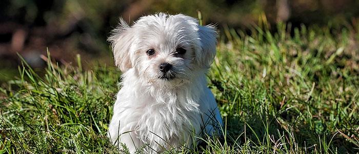 white maltese small cute dog