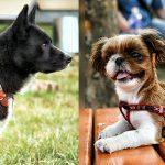 dog-collar-vs-harness