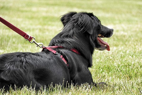 What Type Of Harness Or Collar Is Best For A Dog?